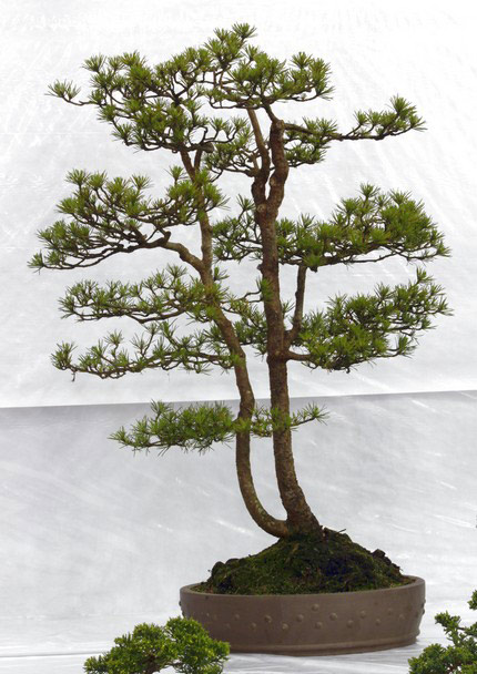 Scots Pine (Pinus Sylvestris) Bonsai Tree Type (Outdoors)