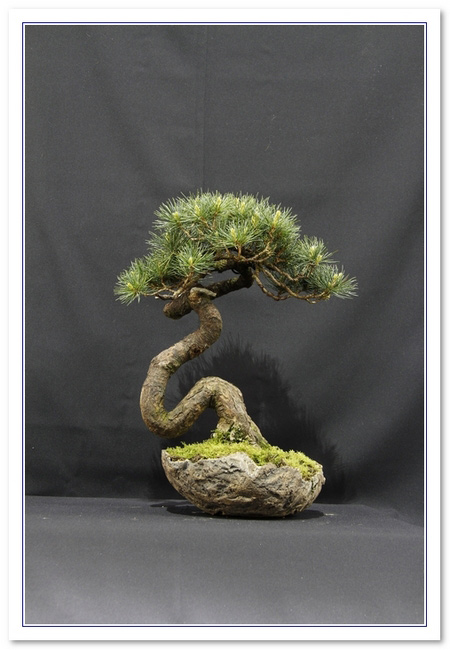 Five needle pine Bonsai Tree Type (Outdoors)