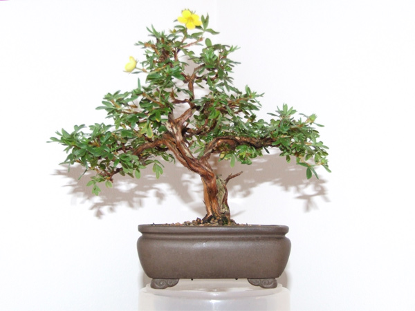bonsai-flowers-potentilla.JPG image