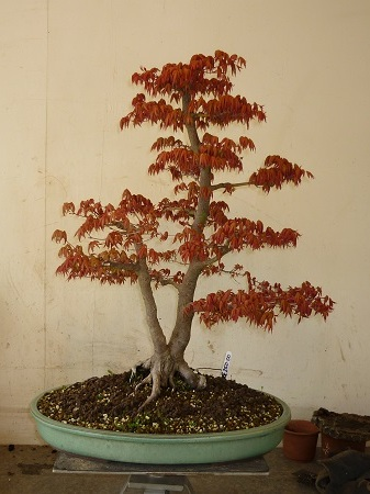 Maple - Japanese (Acer Palmatum) Bonsai Tree Type (Outdoors)