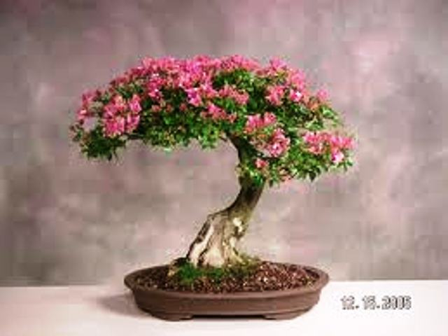 Bougainvillea Bonsai Tree Type (Indoors)