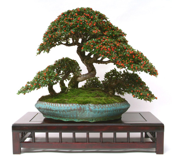 Cotoneaster (Cotoneaster) Bonsai Tree Type (Outdoors)