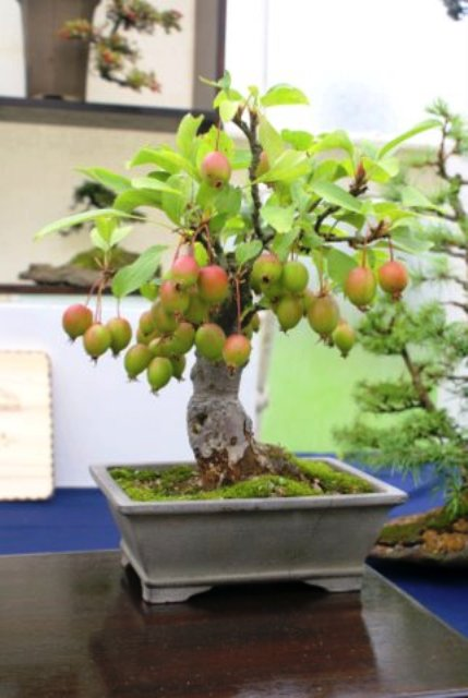 Crab Apple (Malus) Bonsai Tree Type (Outdoors)
