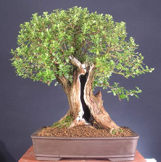 Escallonia (Escalonia) Bonsai Tree Type (Outdoors)