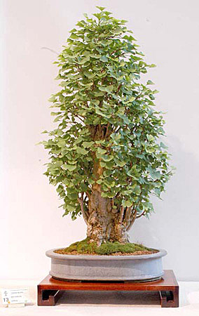 bonsai_maidenhair_01.jpg image