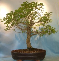 Oak - English (Quercus robur) Bonsai Tree Type (Outdoors)
