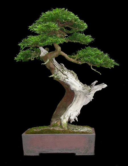 Yew - common (Taxus baccata) Bonsai Tree Type (Outdoors) image