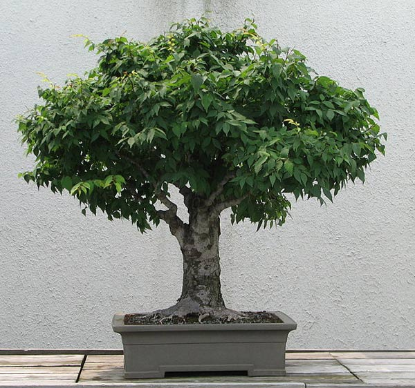 Zelkova (Japanese Elm) Bonsai Tree Type (Outdoors)
