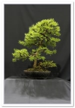 2015 Bonsai Show Trees Gardening Scotland