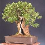 This escallonia was selected as Best in Show at the SBA annual show 2011.