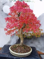 Superb autumn colour on this Mountain Maple